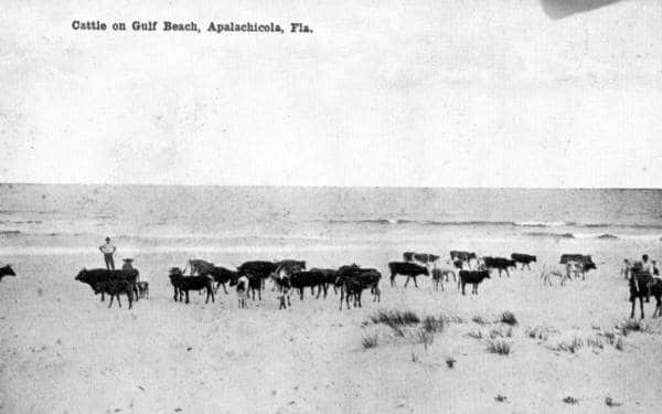 Cattle on Beach
