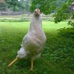 Cicely the Chicken